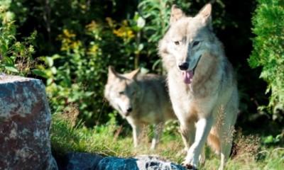 Loups de la Gaspésie