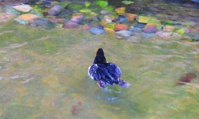 Oiseau qui nage