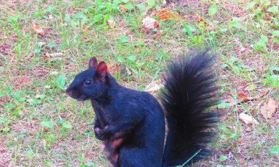 écureuil noir