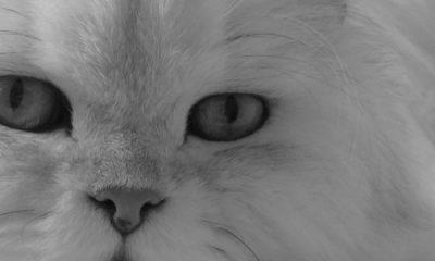 Trigre blanc