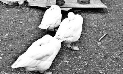 Trois oies
