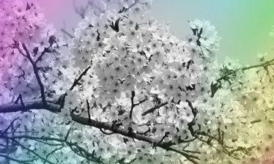 Cerise en fleurs
