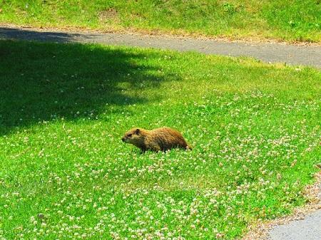 Une marmotte au parc Jean-Drapeau de Montréal. Photo par Megan Jorgensen.
