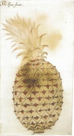 L'ananas est originaire du Nouveau Monde; les Blancs apprécièrent la chair de ce fruit exotique et en répandirent la culture dans les diverses autres zones tropicales du monde.