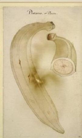 Platano. Cette banane des Antilles découverte par les Anglais constituait pour eux un fruit nouveau.