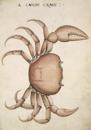 White, qui se révéla un excellent naturaliste, a représenté ci-contre un crabe de terre ; le dessin est assez peu conforme à la réalité. Les yeux du crabe sont pointés vers l'extérieur, alors qu'en fait ils devraient  être inclinés vers l'intérieur.