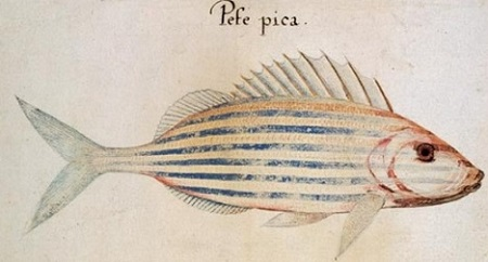 Pefe pica. John White peignit divers animaux de l'Amérique du Nord, en particulier ce poisson dauphin avec un luxe de détails et plus de réalisme qu'il n'en mit dans ses portraits d'Indiens.