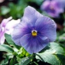 L'emblème floral de la ville de Fossambault-sur-le-Lac : La pensée Silver Blue.