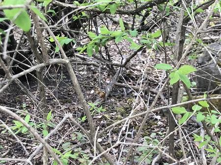 Le même tamia prend du soleil dans un jour de printemps dans cette forêt paisible et accueillante. Photo de grandQuebec.com.
