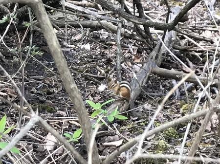 Un tamia qui se cache dans le bois Armand-Frappier. Photo de GrandQuebec.com.