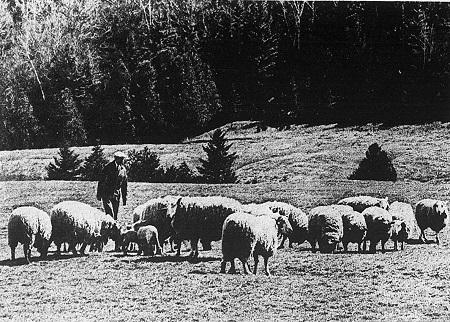 Le dernier berger du Québec visite un troupeau de moutons. Source de la photo: Journal La Presse, mercredi, 23 juillet 1969.