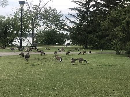 Un grand nombre d'oiseaux, dont des bernaches et des oies font halte dans le parc de l'île Perry. Photographie de Megan Jorgensen.