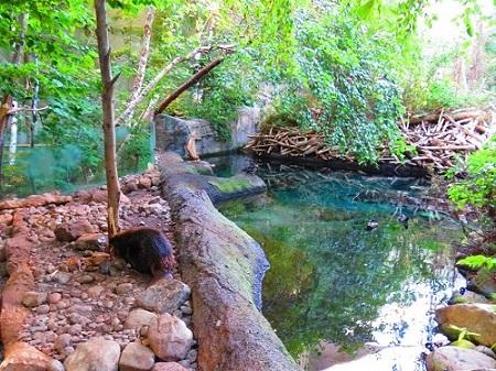 Castor et son barrage. Photo de Megan Jorgensen.