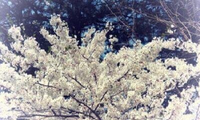 Aucune victoire militaire ne peut être comparée à l'observation des cerises en fleur. Photo de Megan Jorgensen.