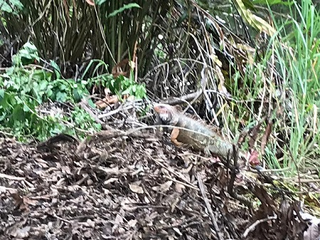 Iguane adulte. Photo de Megan Jorgensen.