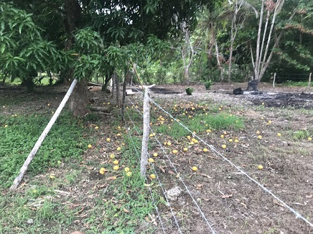 Voici des mangues en décembre au Costa Rica, j'ai recueilli deux ou trois, il en reste plus de cent. Et il y en a des dizaines d'arbres de mangues. Photo de Megan Jorgensen.