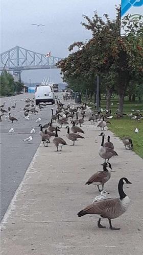Bernaches du Canada dans le Vieux Port de Montréal. Photo de GrandQuebec.com.