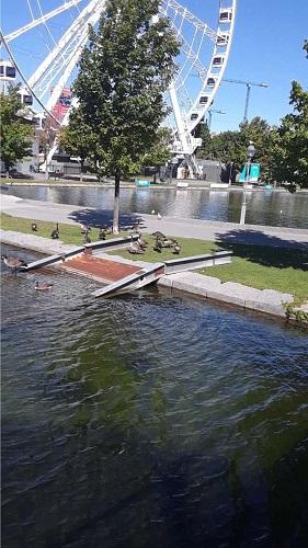 La Grande Roue de Montréal et un groupe de bernaches du Canada. Photo de GrandQuebec.com.
