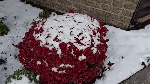 Fleurs sous la neige. Photo de GrandQuebec.com.