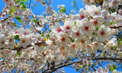 Cerises en fleur. Photo par Megan Jorgensen.
