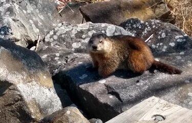 Une marmotte. Photo de Natalyia Vorobyova.
