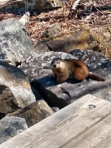 Une marmotte. Photo de Nataliya Vorobyova.