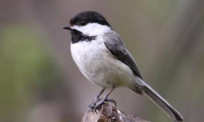 « La mésange est vraiment attachante, vive, facile à observer. C'est un oiseau amical (autant que le maire !) et un emblème idéal pour Montréal », conclut Verville, à sa manière.