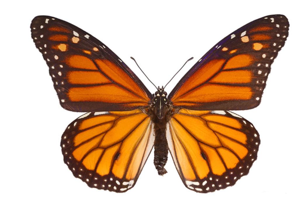 Papillon Monarque. Photographie libre de droits.