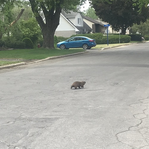 La marmotte du Canada, encore appelée siffleux, se chauffant au soleil.