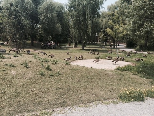 Canards zoo