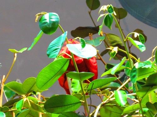 Fleure rouge