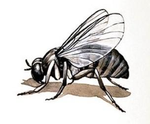 mouche noire