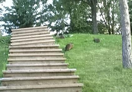famille de marmottes