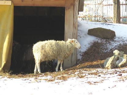 Moutons et brebis