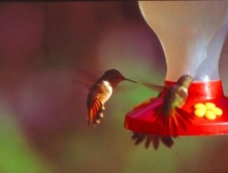 Colibri voyage travers le qu bec - Oiseau mouche dessin ...