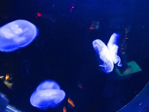 méduses bleues