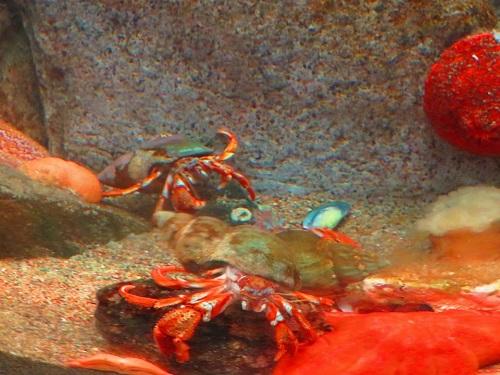 Crabes aquarium
