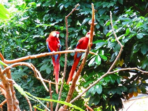 Oiseaux rouges