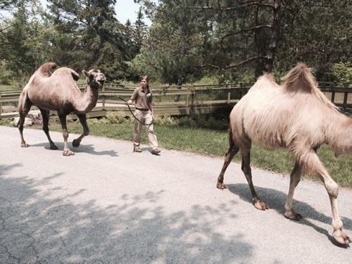 Deux chameaux