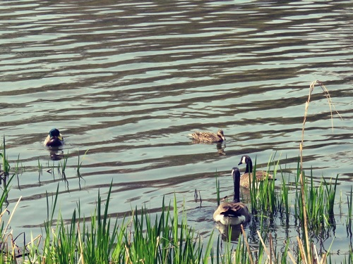 Canards de la Jacques-Cartier