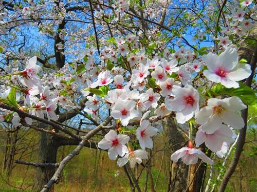Cerises en fleurs