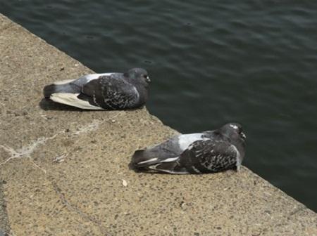 Pigeons en hiver