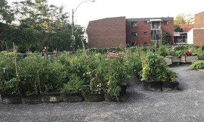 Jardin communautaire du Centre-Sud de Montréal. Photographie de Megan Jorgensen.