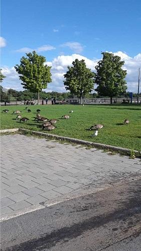 Bernaches du Canada se nourrissent. Photo de GrandQuebec.com.