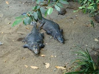 alligators granby