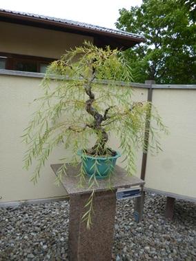 arbre de bonsai