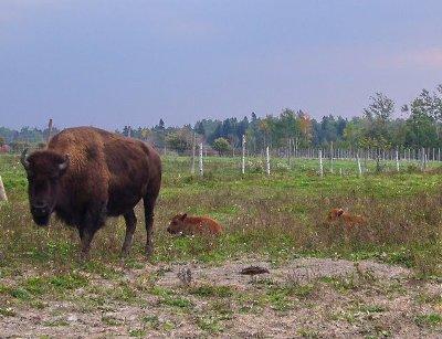 bisons orleans