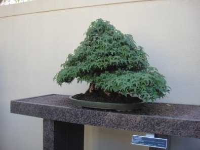 bonsai arbre