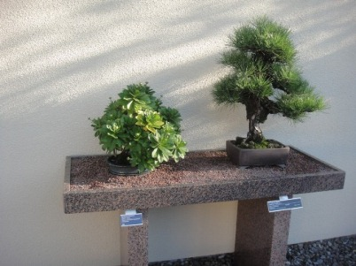 bonsai arbustes