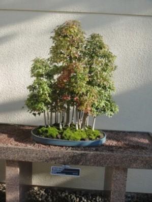bonsai en foret